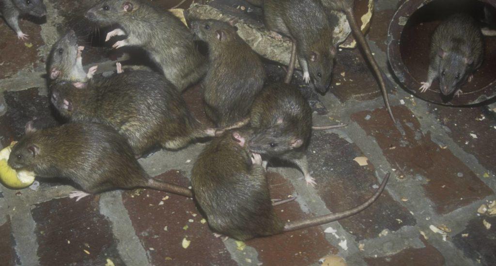 уничтожение крыс в Альметьевске